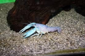 native pond plants for sale crayfish ban pennsylvania regulations halt sale u0026 transport
