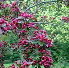 flowering crab apple tree
