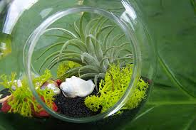 more air plant display ideas that seamlessly blend function and style