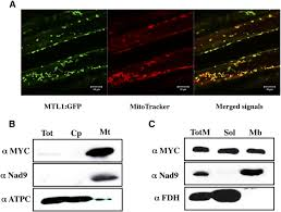 the mtl1 pentatricopeptide repeat protein is required for both