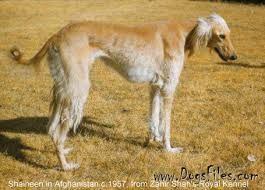 afghan hound judging list pedigree database aboriginal afghan hound
