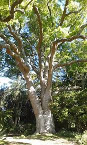 majestic tree picture of arderne gardens claremont tripadvisor