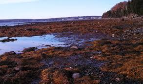 the gulf of maine return of the seaweed island institute