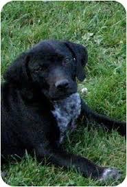 bluetick coonhound puppies near me allie adopted puppy colville wa bluetick coonhound labrador