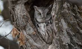 eastern screech owl behavior birds of america
