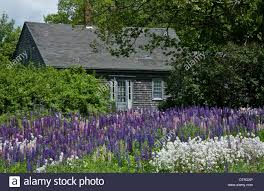 springtime lupine flowers in a cottage garden and a cape cod style