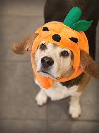 Dolphin Halloween Costume Beagle Dog Wearing Pumpkin Hat Halloween Costume