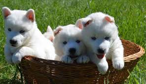 american eskimo dog varieties smallest dog breeds world u0027s smallest dogs really tiny dogs