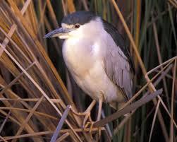 heron meaning black crowned night heron audubon field guide