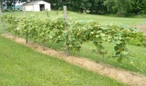 Growing Grapes Trellis Growing Grapes