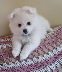 american eskimo dog what do they eat toy american eskimo dog facts characteristics information and