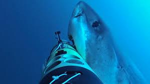 sharkcam tracks great whites into the deep woods hole