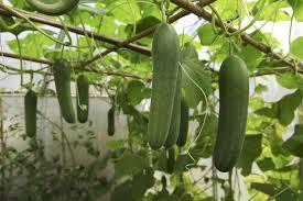 companion plants for zucchini and summer squash