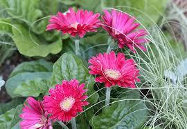 gerbera plant 1 jpg