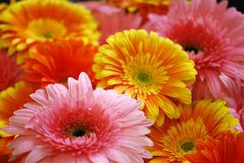 gerbera daisy fiori della vita