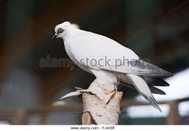 white ornamental pigeon ornamental chickens stock photos white