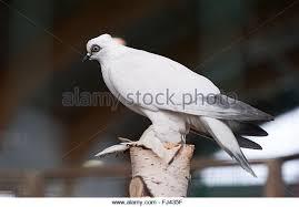 white ornamental pigeon ornamental chickens stock photos white