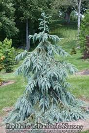 pin by d kurtz on contemporary landscaping blue spruce