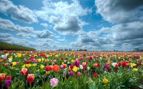 tulip fields netherlands wallpaper hd for desktop u0026 mobile