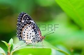 butterfly front view stock photo picture and royalty free image