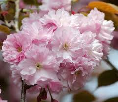 pink weeping cherry tree flowering cherry trees for sale fast