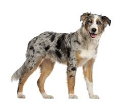 d b australian shepherds image australian shepherd labrador mix dog jpg animal jam