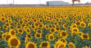 salina ks sunflower field by kansas state university sunflower field kansas 1 from a simple life aysha please visit
