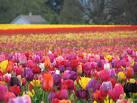زهور التوليب Images?q=tbn:ANd9GcQpzTZwjgITeaB9MPjvP-LKY8Ib6b9hF7YyULoRQ1FTJhTjHyCW1gS1oDU