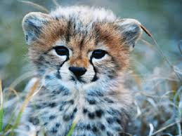 New York wild animals images Baby cheetahs cbs new york jpg