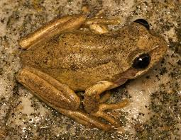 brown tree file brown tree frog jpg wikimedia commons