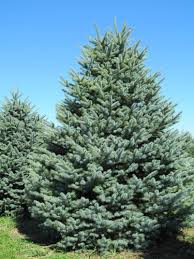 wholesale conifer trees for indiana landscapers