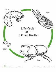color cycle rhino beetle rhinos beetles worksheets
