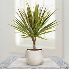 draceana or dragons blood plants originate from the tropical parts