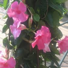 spotlight mandevilla and star jasmine flowers greenhouse