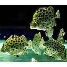 ornamental fishes ornamental fishes binaki nagpur classical