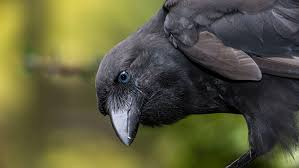 native plants of hawaii hawaiian crow reintroduction u2014 birds that use tools audubon