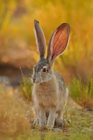 best 25 wild rabbit ideas on pinterest wild baby rabbits hare