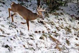 When Do Deer Shed Their Antlers by How Do Deer Shed Their Antlers Watch And Learn