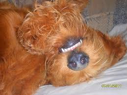 goldendoodle puppy virginia f1 standard goldendoodle puppy breeder virginia richmond d c area