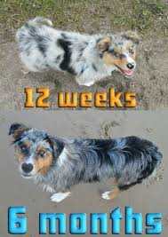 australian shepherd 2 mesi australian shepherd dash 7 months standard poodle luna 6 months