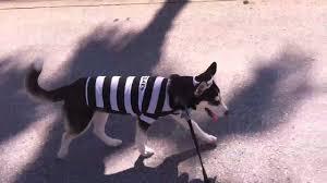 Halloween Costumes Husky Dog Siberian Husky Puppy Sky Prisoner Inmate Costume