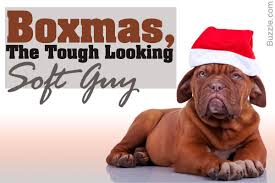 Do English Bullmastiffs Shed by All You Need To Know But Don U0027t About The Boxer Mastiff Mix Breed