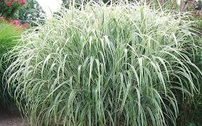 buy cosmopolitan miscanthus grass 3 gallon pot ornamental