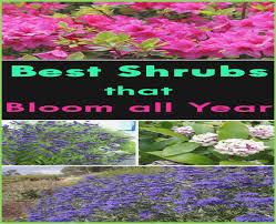 All Year Flowering Shrubs - fresh flowering evergreen shrubs for your garden u2013 webbird co