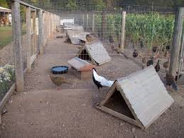 61 best pheasant images on raising pheasants raising