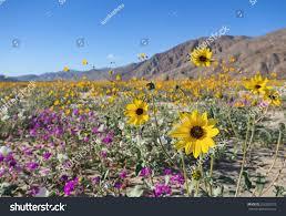 anza borrego desert wildflower blooming anza borrego desert state stock photo