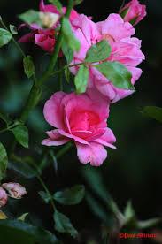 ornamental flowers paul militaru