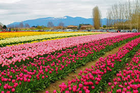 tulip festival map 6 places to enjoy tulip festivals around the