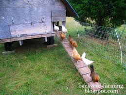 Backyard Chicken Farming by Elegant Backyard Chicken Farming Architecture Nice