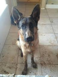 belgian shepherd 101 mud loving german shepherd wins equus magazine u0027s 2014 dirty dog